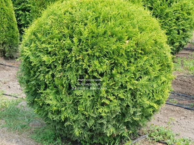 Туя западная Брабант Шар (Thuja occidentalis Brabant Boll) ФОТО Питомник растений Природа (2)