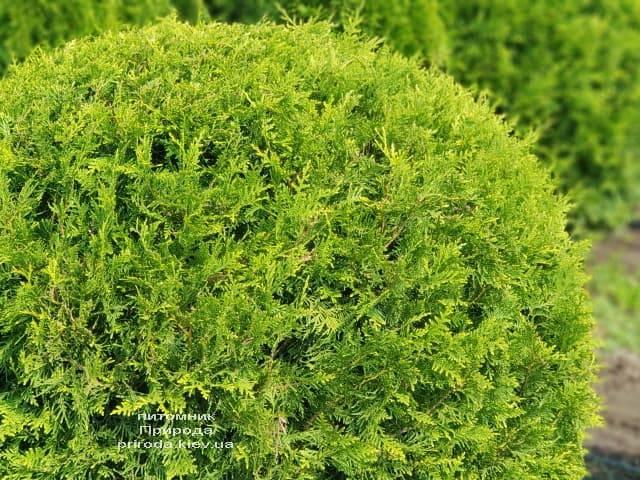 Туя западная Брабант Шар (Thuja occidentalis Brabant Boll) ФОТО Питомник растений Природа (4)