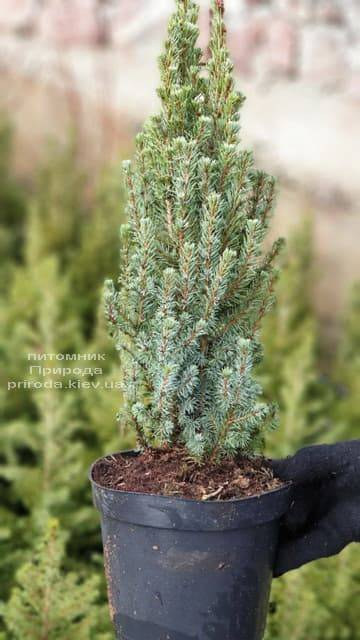 Ель канадская Сандерс Блю (Picea glauca Sanders Blue) ФОТО Питомник растений Природа (1)