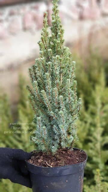 Ель канадская Сандерс Блю (Picea glauca Sanders Blue) ФОТО Питомник растений Природа (2)