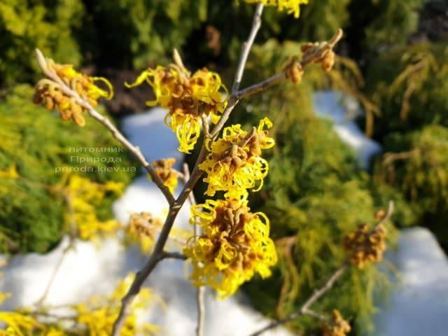 Гамамелис (Hamamelis) ФОТО Питомник растений Природа (1)