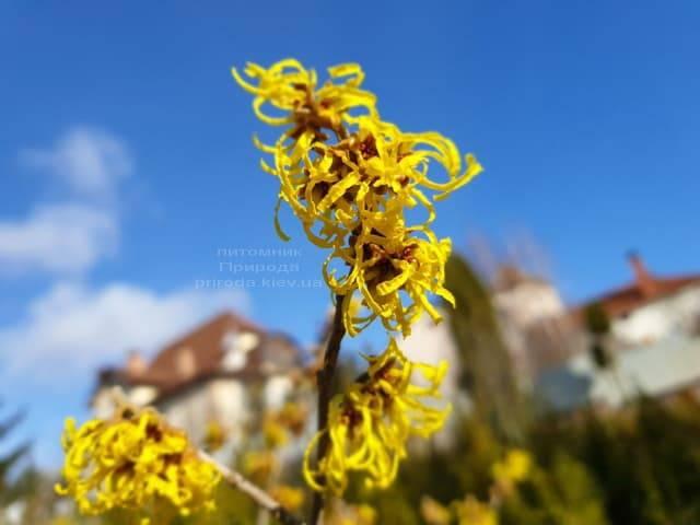 Гамамелис (Hamamelis) ФОТО Питомник растений Природа (2)