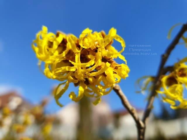 Гамамелис (Hamamelis) ФОТО Питомник растений Природа (3)