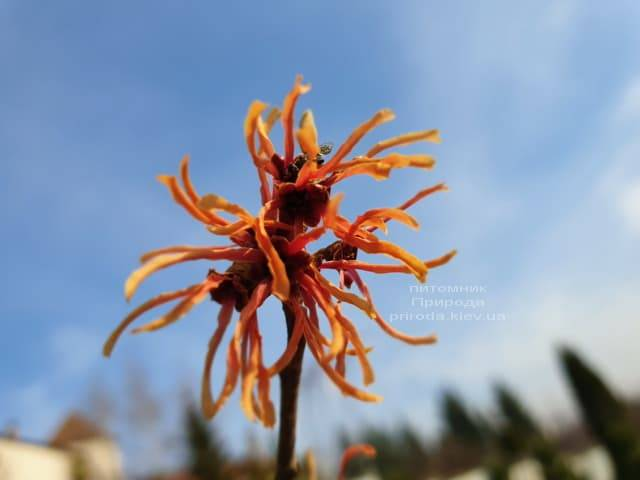 Гамамелис (Hamamelis) ФОТО Питомник растений Природа (4)