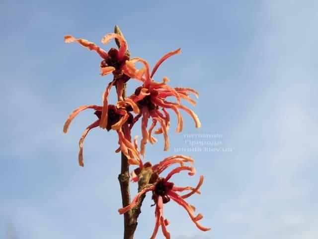 Гамамелис (Hamamelis) ФОТО Питомник растений Природа (6)