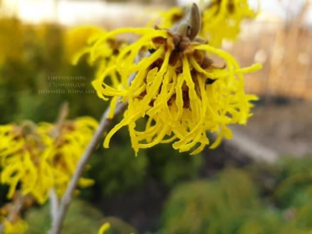 Гамамелис (Hamamelis) ФОТО Питомник растений Природа (8)