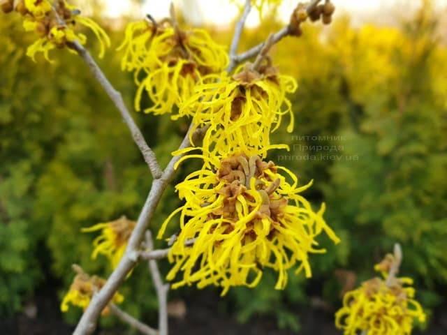 Гамамелис (Hamamelis) ФОТО Питомник растений Природа (9)