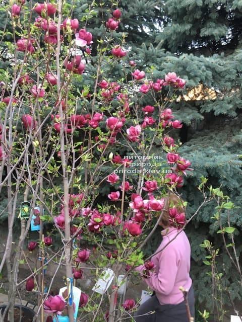 Магнолия Джени (Magnolia Genie) ФОТО Питомник растений Природа (28)