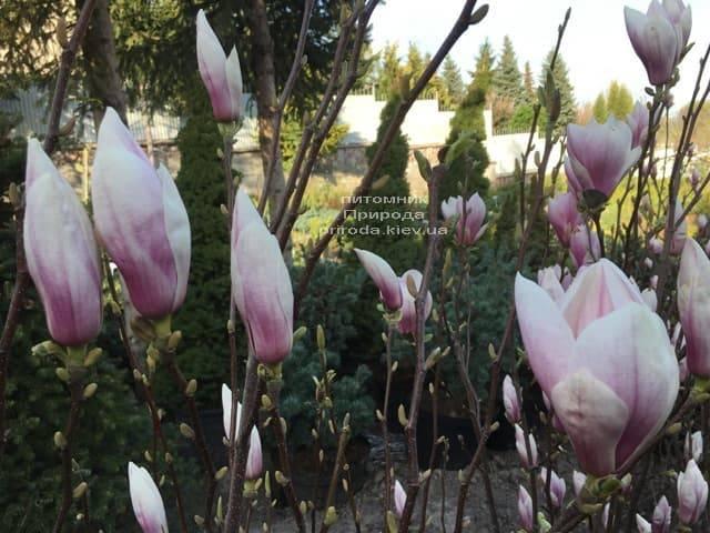 Магнолия Суланжа (Magnolia soulangeana) ФОТО Питомник растений Природа