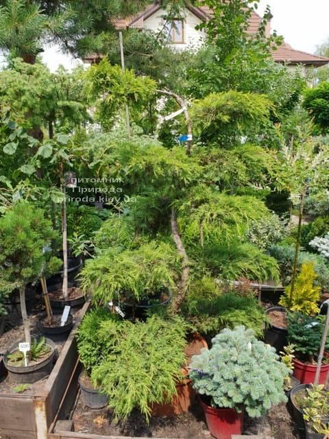 Бонсай Можжевельник пфитцериана (Juniperus pfitzeriana Bonsai) ФОТО Питомник растений Природа (1)