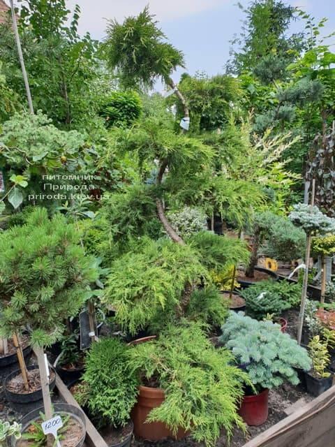 Бонсай Можжевельник пфитцериана (Juniperus pfitzeriana Bonsai) ФОТО Питомник растений Природа (2)