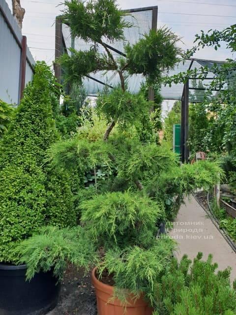 Бонсай Можжевельник пфитцериана (Juniperus pfitzeriana Bonsai) ФОТО Питомник растений Природа (3)