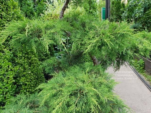 Бонсай Можжевельник пфитцериана (Juniperus pfitzeriana Bonsai) ФОТО Питомник растений Природа (4)