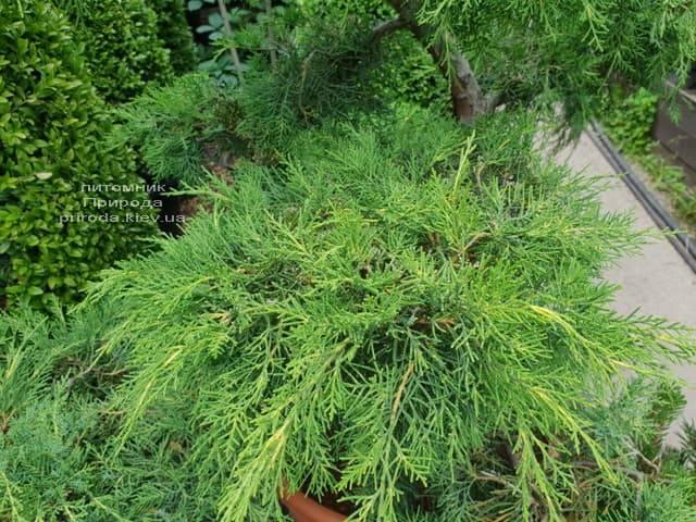 Бонсай Можжевельник пфитцериана (Juniperus pfitzeriana Bonsai) ФОТО Питомник растений Природа (5)