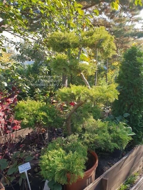 Бонсай Можжевельник пфитцериана (Juniperus pfitzeriana Bonsai) ФОТО Питомник растений Природа (6)