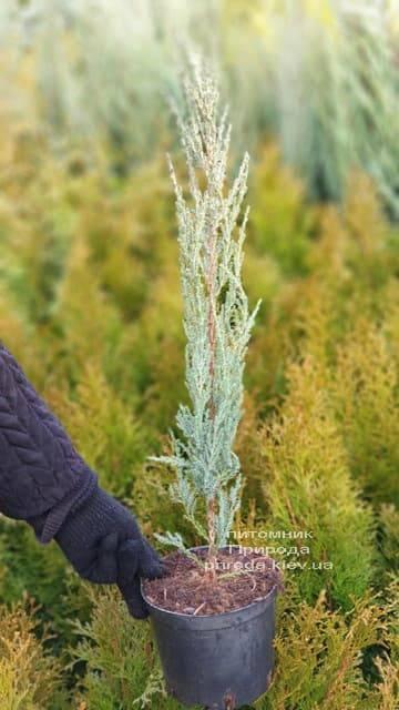 Можжевельник скальный Блю Арроу (Блю Эрроу) (Juniperus scopolorum Blue Arrow) ФОТО Питомник растений Природа (11)