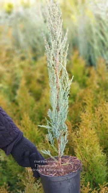 Можжевельник скальный Блю Арроу (Блю Эрроу) (Juniperus scopolorum Blue Arrow) ФОТО Питомник растений Природа (12)