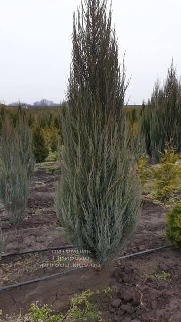 Можжевельник скальный Блю Арроу (Блю Эрроу) (Juniperus scopolorum Blue Arrow) ФОТО Питомник растений Природа (20)