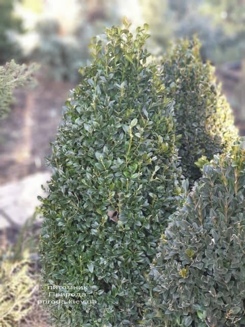 Самшит вечнозелёный Конус ФОТО Питомник растений Природа (10)