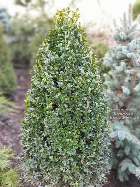 Самшит вечнозелёный Конус ФОТО Питомник растений Природа (11)