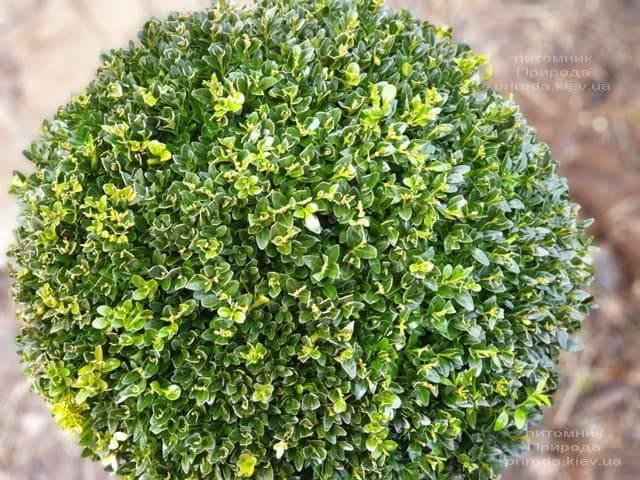 Самшит вечнозелёный Шар (Buxus sempervirens Boll) ФОТО Питомник растений Природа (10)