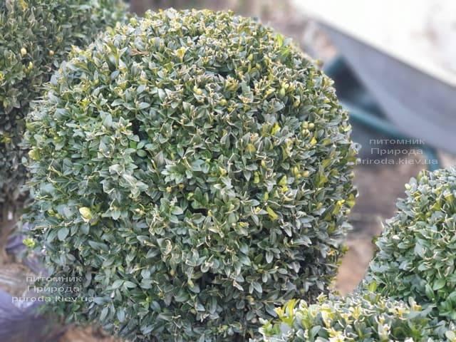 Самшит вечнозелёный Шар (Buxus sempervirens Boll) ФОТО Питомник растений Природа (11)