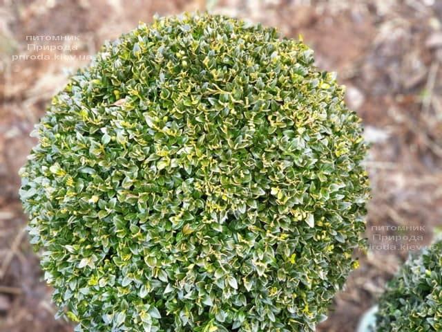 Самшит вечнозелёный Шар (Buxus sempervirens Boll) ФОТО Питомник растений Природа (12)