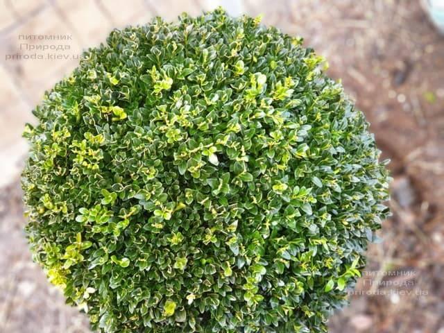 Самшит вечнозелёный Шар (Buxus sempervirens Boll) ФОТО Питомник растений Природа (13)