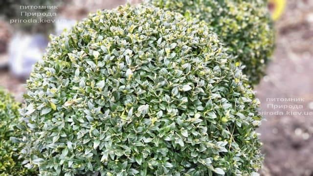 Самшит вечнозелёный Шар (Buxus sempervirens Boll) ФОТО Питомник растений Природа (15)