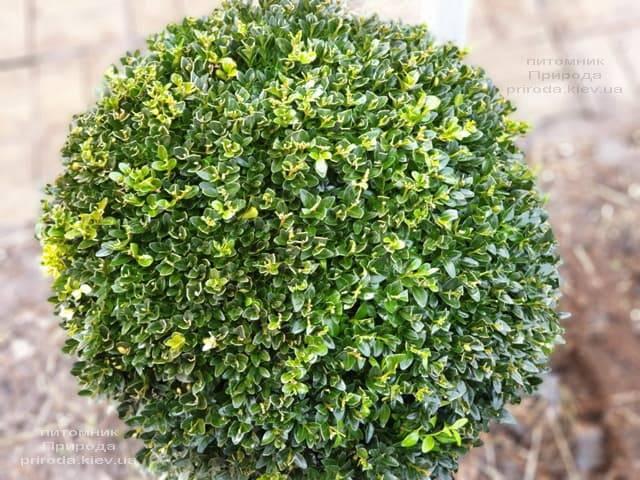 Самшит вечнозелёный Шар (Buxus sempervirens Boll) ФОТО Питомник растений Природа (9)