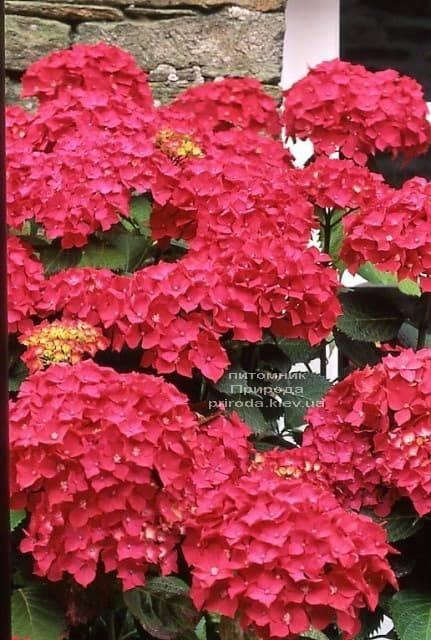 Гортензия крупноцветковая Рэд Барон (Hydrangea macrophylla Red Baron) ФОТО Питомник растений Природа (2)
