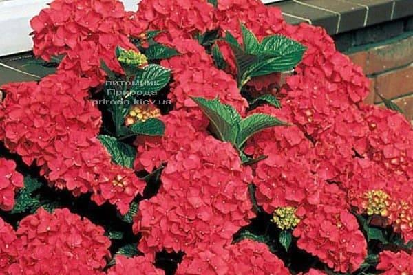 Гортензия крупноцветковая Роял Рэд (Hydrangea macrophylla Royal Red) ФОТО Питомник растений Природа (3)
