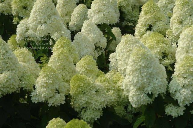 Гортензия метельчатая Мэджикал Кэндл (Hydrangea paniculata Magical Candle) ФОТО Питомник растений Природа (1)