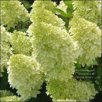 Гортензия метельчатая Мэджикал Кэндл (Hydrangea paniculata Magical Candle) ФОТО Питомник растений Природа (2)