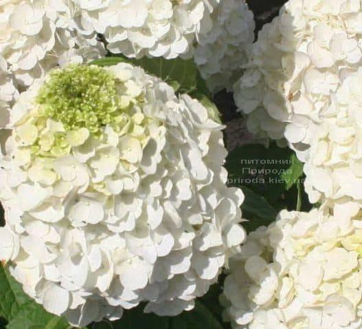 Гортензия метельчатая Мэджикал Мон Блан (Hydrangea paniculata Magical Mont Blanc) ФОТО Питомник растений Природа (2)