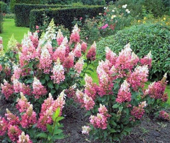 Гортензия метельчатая Пинки Винки (Hydrangea paniculata Pinky Winky) ФОТО Питомник растений Природа (1)