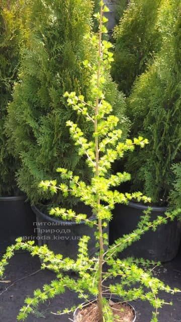 Лиственница европейская (Larix decidua) ФОТО Питомник растений Природа (4)
