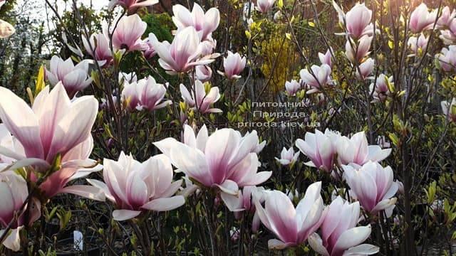 Магнолия Суланжа (Magnolia soulangeana) ФОТО Питомник растений Природа (1)