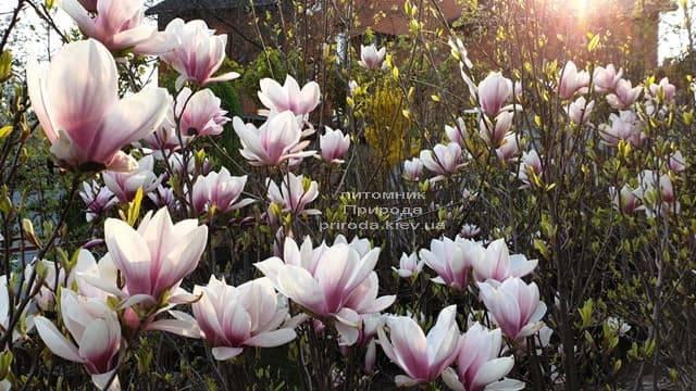 Магнолия Суланжа (Magnolia soulangeana) ФОТО Питомник растений Природа (10)