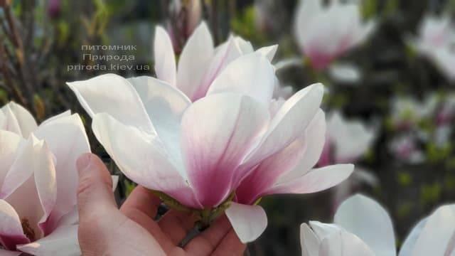 Магнолия Суланжа (Magnolia soulangeana) ФОТО Питомник растений Природа (2)