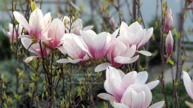 Магнолия Суланжа (Magnolia soulangeana) ФОТО Питомник растений Природа (3)
