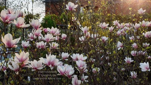 Магнолия Суланжа (Magnolia soulangeana) ФОТО Питомник растений Природа (4)