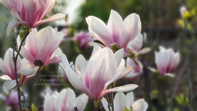 Магнолия Суланжа (Magnolia soulangeana) ФОТО Питомник растений Природа (6)