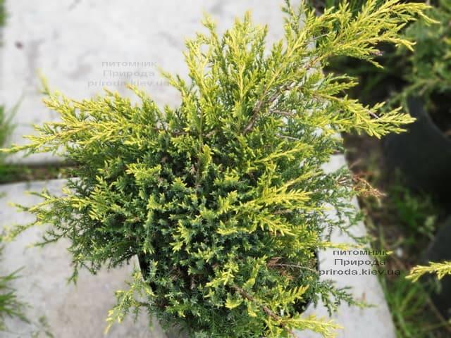 Можжевельник средний (пфитцериана) Голд Стар (Juniperus media pfitzeriana Gold Star) ФОТО Питомник растений Природа (4)