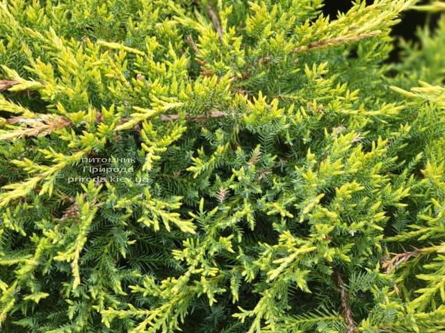 Можжевельник средний (пфитцериана) Голд Стар (Juniperus media pfitzeriana Gold Star) ФОТО Питомник растений Природа (8)