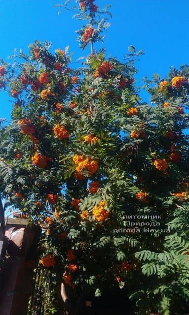 Рябина обыкновенная (Sorbus aucuparia) ФОТО Питомник растений Природа (1)