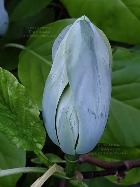 Магнолия Голубой Опал (Maqnolia acuminata Blue Opal) ФОТО Питомник растений Природа (24)