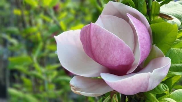 Магнолия Суланжа Амабилис (Magnolia soulangeana Amabilis) ФОТО Питомник растений Природа (10)