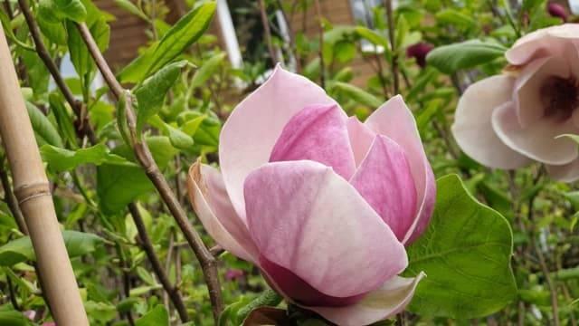 Магнолия Суланжа Амабилис (Magnolia soulangeana Amabilis) ФОТО Питомник растений Природа (11)