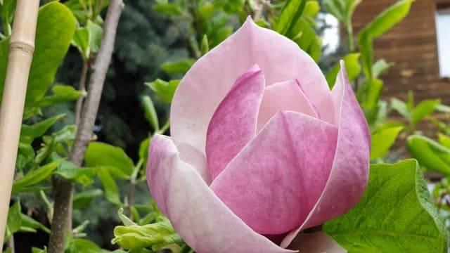 Магнолия Суланжа Амабилис (Magnolia soulangeana Amabilis) ФОТО Питомник растений Природа (13)